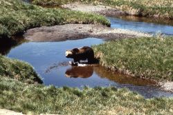 Grizzly bear in creek Photo