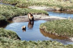 Grizzly bear sow & cub in creek Photo