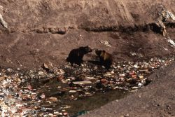Two grizzly bears growling in Trout Creek dump Photo