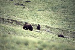 Grizzly bear sow & cubs in Dunraven Pass area Photo