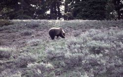 Grizzly bear digging between Cub Creek & Clear Creek Photo