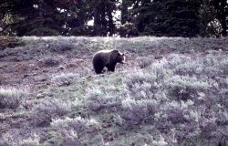 Grizzly bear on slope between Cub Creek & Clear Creek Photo