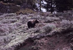 Grizzly bear between Cub Creek & Clear Creek Photo