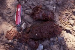 Grizzly bear scat on the Fawn Pass trail Photo