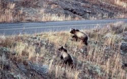 Two grizzly bear sub adults approaching the road in the Antelope Creek drainage Photo