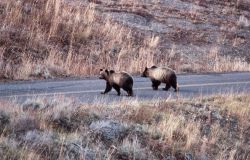 Two grizzly bear sub adults on the road in the Antelope Creek drainage Photo