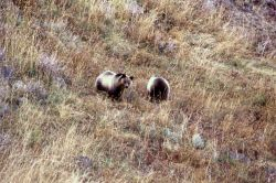 Two grizzly bear sub adults in the Antelope Creek drainage Photo