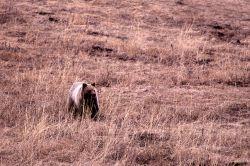 Grizzly bear in meadow near Geode Creek Photo