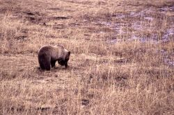 Grizzly bear digging in meadow near Geode Creek Photo