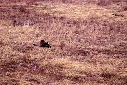 Grizzly bear lying down in meadow near Geode Creek, same bear as in -14778 Photo