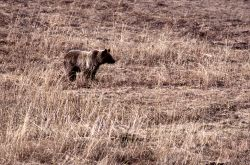 Grizzly bear in meadow near Geode Creek Photo