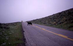 Grizzly bear sow crossing road in Lamar Valley Photo