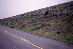 Grizzly bear sow & three cubs crossing road in Lamar Valley Photo