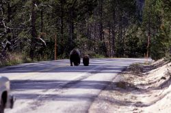 Grizzly bear sow with cub on the road near Nymph Lake Photo