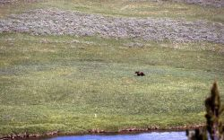 Grizzly bear in Hayden Valley near the Yellowstone River Photo
