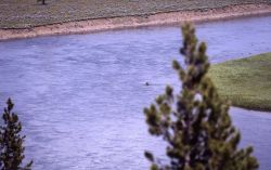 Grizzly bear swimming in the Yellowstone River in Hayden Valley Photo