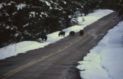 Four grizzly bears on the northeast entrance road Photo
