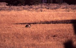 Grizzly bear at Fishing Bridge junction Photo