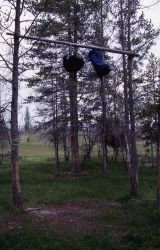 Two backpacks hanging on bear poles in a backcountry campsite in Sentinel meadows - Grizzly bear Photo