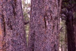Bear scratches on tree (unknown whether black or grizzly bear) Photo