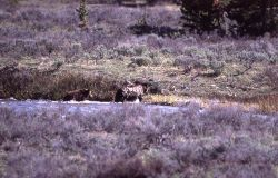 Grizzly bear & one cub coming out of the Gardner River near Sheepeater Cliff Photo