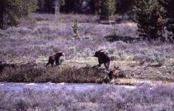 Grizzly bear & two cubs coming out of the Gardner River near Sheepeater Cliff Photo