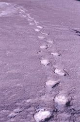 Grizzly bear tracks in the snow near the northeast entrance Photo