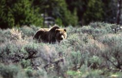 Grizzly bear -264 near Sheepeater Cliff Photo
