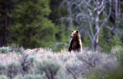 Grizzly bear yearling (of sow -264) near Sheepeater Cliff Photo