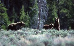 Grizzly bear sow -264 with two yearlings near Sheepeater Cliff Photo