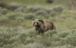Grizzly bear on Swan Lake Flats Photo