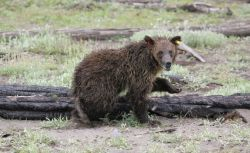Grizzly bear yearling relocated from Stevenson Island to south arm of Yellowstone Lake Photo