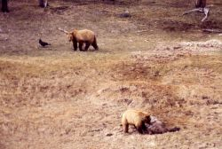 Grizzly bears at elk carcass Photo