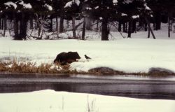Raven & grizzly bear at elk carcass Photo
