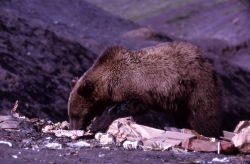 Grizzly bear at Trout Creek dump (note ear tag) Photo