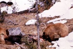 Grizzly bear feeding on elk Photo