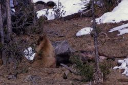 Two year old grizzly bear on elk carcass Photo