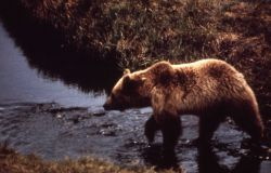 Grizzly bear fishing in a stream Photo