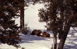 Two grizzly bears on elk carcass Photo