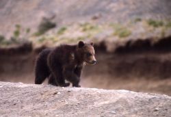 Grizzly bear cub Photo