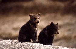 Two grizzly bear cubs Photo