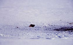 Uinta ground squirrel in the snow at Mammoth Hot Springs parade grounds Photo