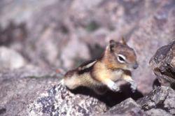 Golden-mantled ground squirrel Photo
