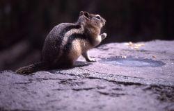 Golden-mantled ground squirrel near Gibbon Falls Photo