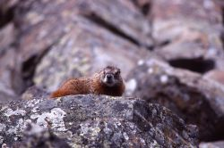 Yellow-bellied Marmot on rock Photo
