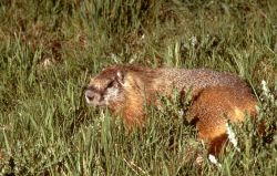 Yellow-bellied Marmot in grass in the Sheepeater Cliff area Photo
