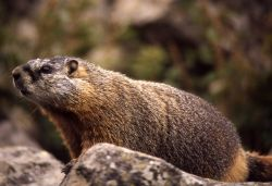 Close up of a Yellow-bellied Marmot Photo