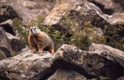 Yellow-bellied Marmot on rocks Photo