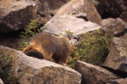 Yellow-bellied Marmot showing tail Photo
