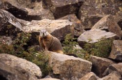 Yellow-bellied Marmot in rocks Photo